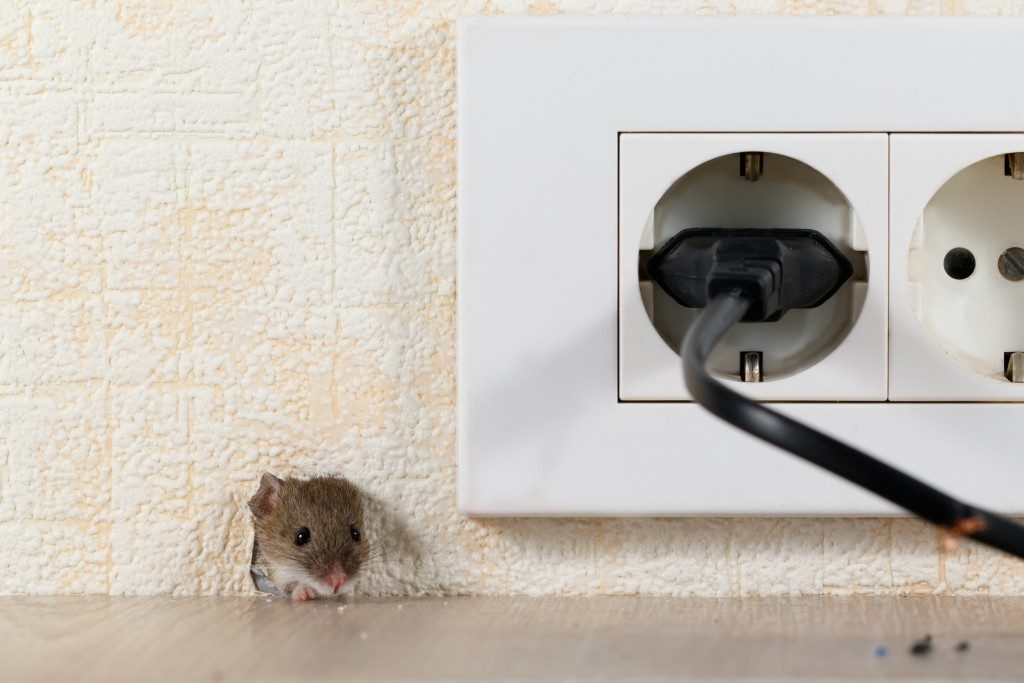 rat near a socket